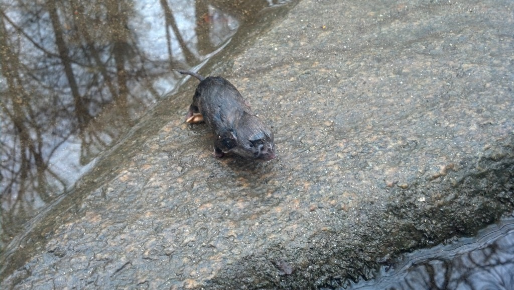 A frozen critter on a rock, Feb. 11. 2013.